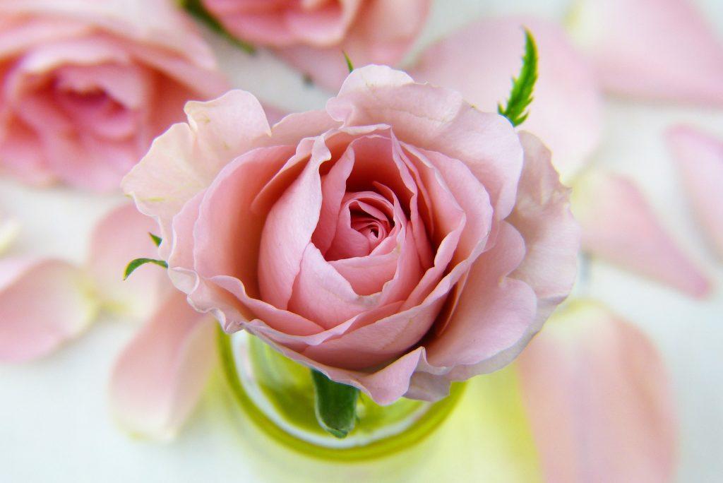 バラの香りは恋愛にも効果的!バラの香りのコスメ紹介記事イメージ画像 ピンクのバラの写真
